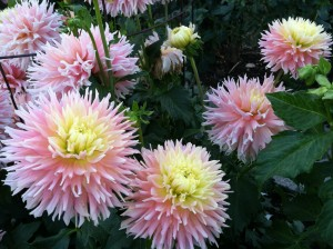 CalmUp® photo of pink and yellow dahlias