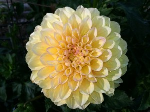 CalmUp® photo of yellow dahlia