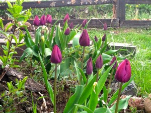 CalmUp® photo of purple tulips