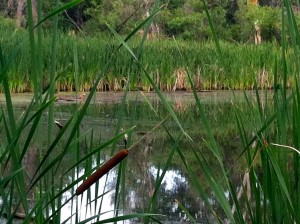 CalmUp® photo of lake and cat tail