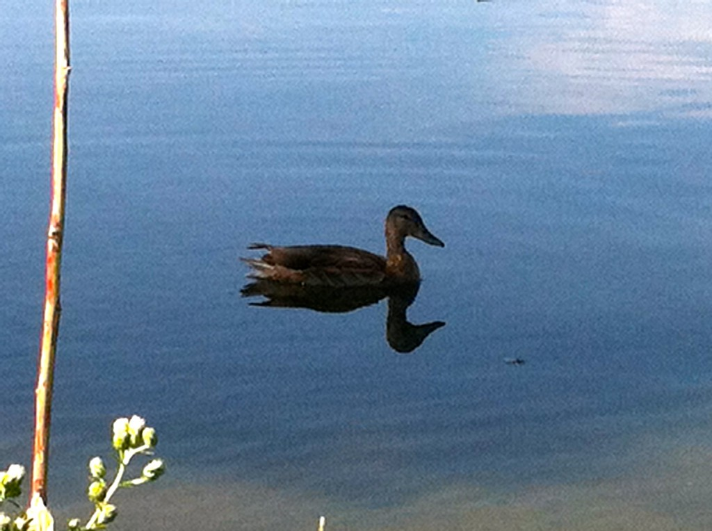 CalmUp® photo of a duck