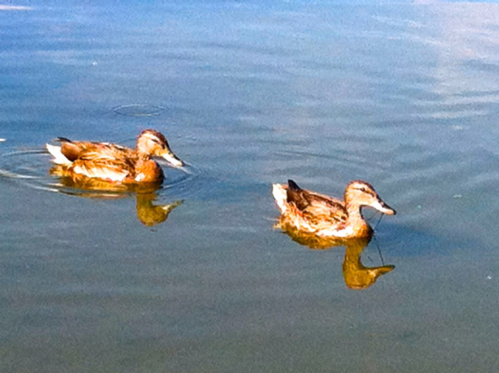 CalmUp® photo of two ducks