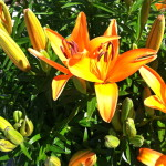 CalmUp® photo of orange flowers blooming