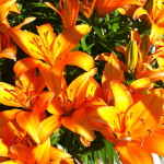 CalmUp® photo of orange flowers in full bloom